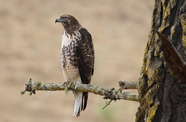 Juvenile red tailed hawk, Canon EOS REBEL T6I, Canon EF 100-400mm f/4.5-5.6L IS