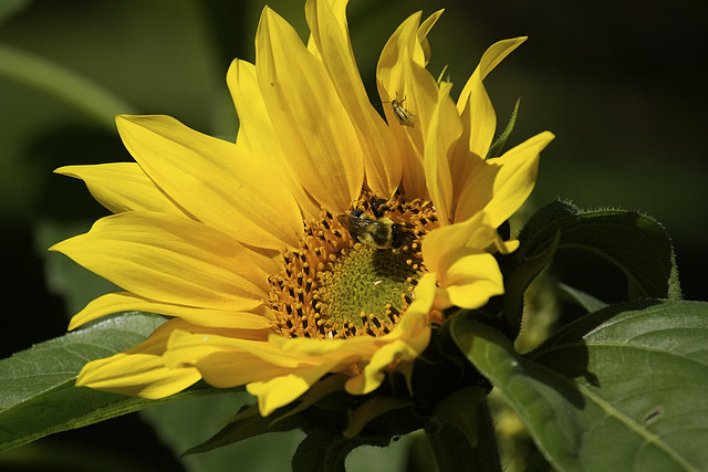 Did Someone Mention a Sunflower?