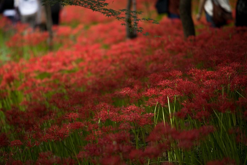 曼珠沙華公園 満開