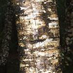 Alnus nepalensis bark