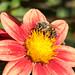 Busy Bee on a Dahlia
