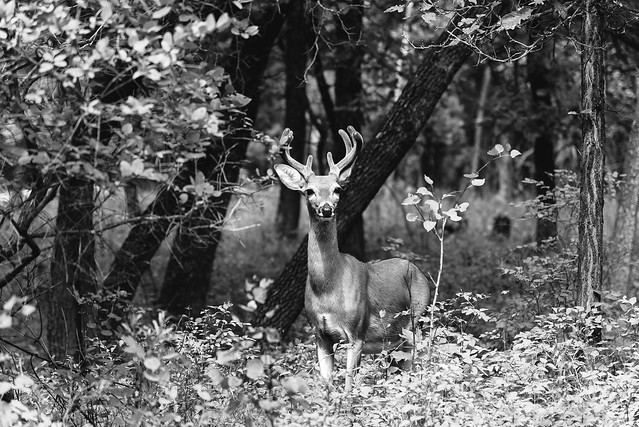 The Young Buck In The Woods