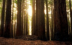 Redwood forest - Warburton East, Victoria