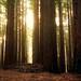 Redwood forest - Warburton East, Victoria