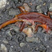 red spotted newt (roadkill)