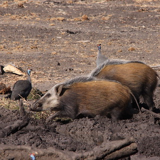 African bush pigs, Mapungubwe National Park
