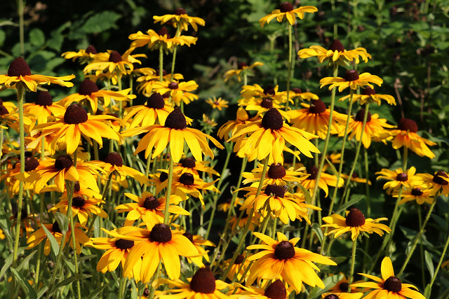 three dozen or so rudbeckia hirta in bright sunshine, viewed from the side