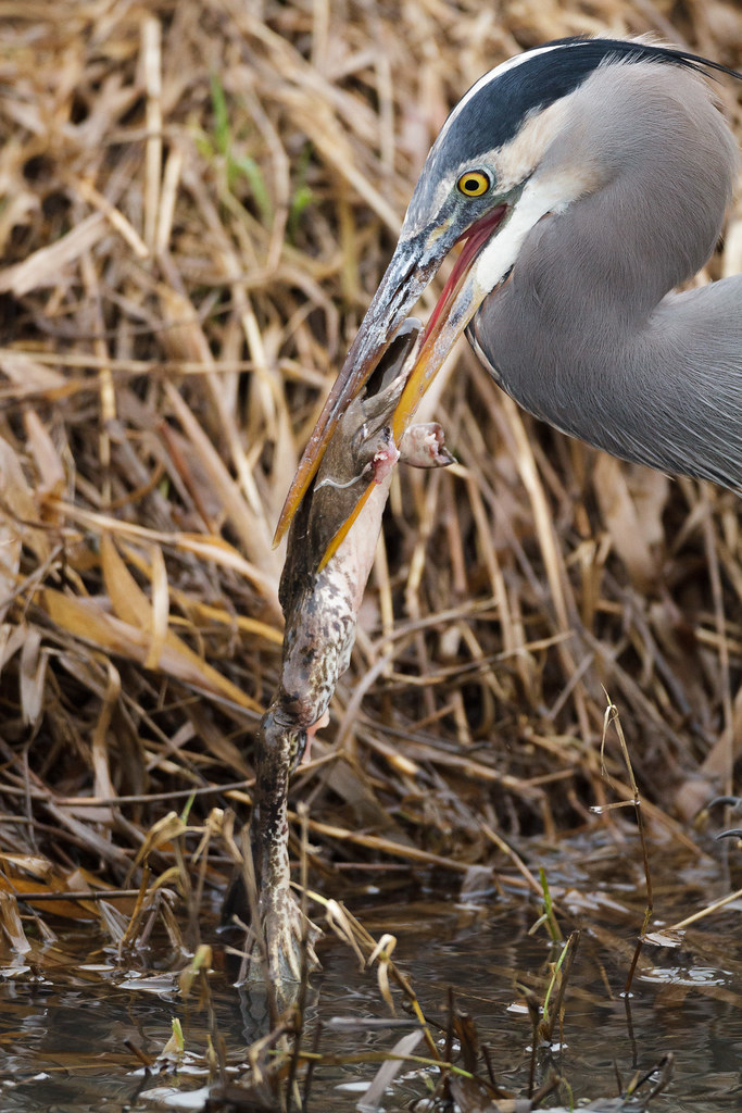 A great blue heron holds a large bullfrog in its beak