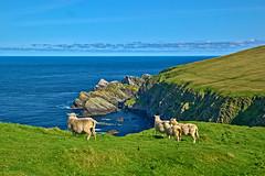 Sheep enjoying the views