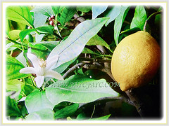 Captivating fruit, flower and lanceolate green leaves of Citrus limon, (Lemon), 28 Aug 2017