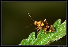 Liocoris tripustulatus - Photo of Antully