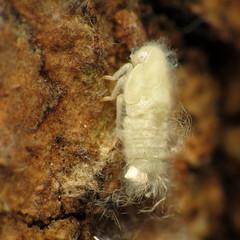 Flatid Planthopper Nymph