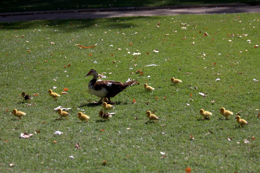 crías de pato