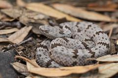Juvenile Banded Rock Rattlesnake