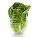 romaine lettuce standing