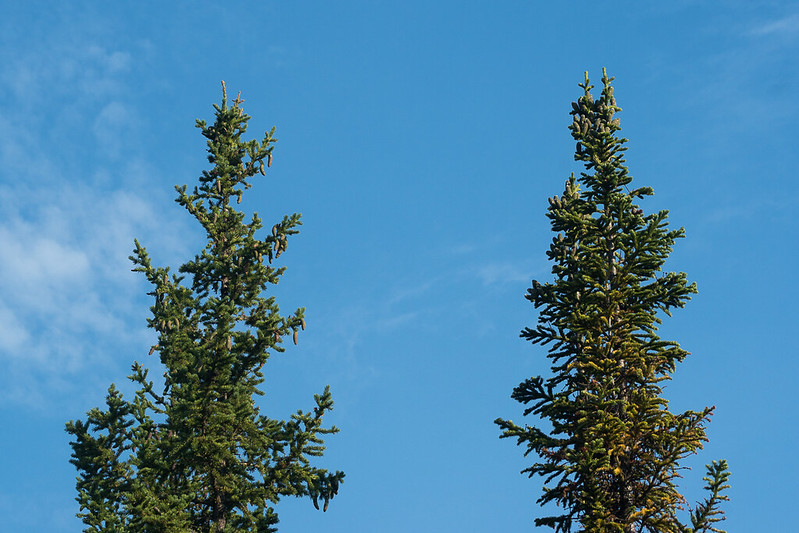 Siberian spruce (Picea obovata, left) and Siberian fir (Abies sibirica, right)