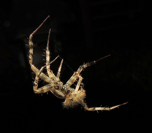 mating reproduction male neosconacrucifera neoscona araneidae entelegynes araneomorphae araneae spider fauna yard highlandpark nj newjersey august blackground