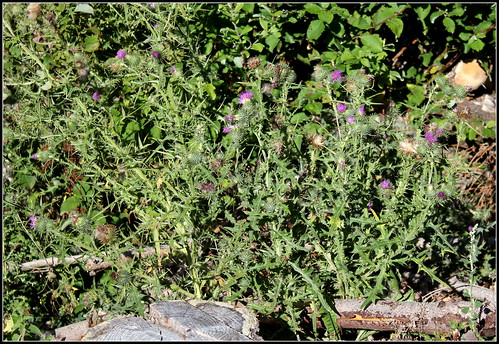Cirsium vulgare - cirse commun, cirse lancéolé 36710562325_9bb16067d5