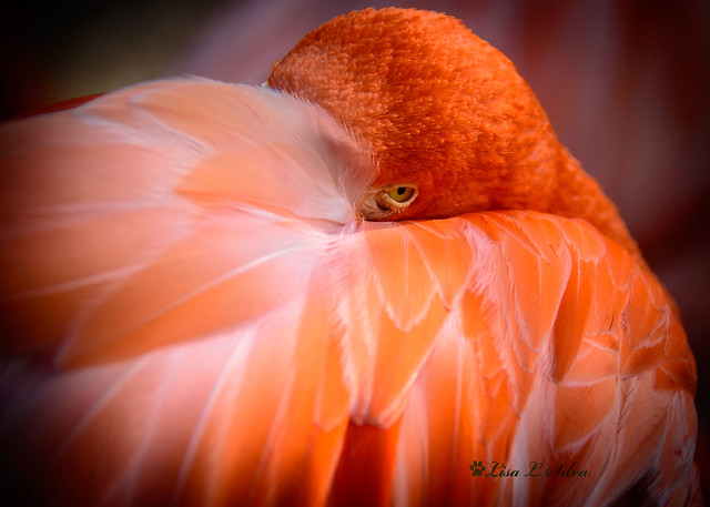 Caribbean Flamingo - Explored