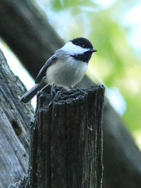 Black-capped Chickadee 3-20170928