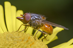 _IMG7983  Rhingia rostrata  (Grey-backed Snout-hoverfly)