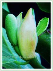 Fabulous yellowish-white flower of Artocarpus integer (Chempedak, Cempedak, Champada, Champekak, Chempedak Utan), 9 Sept 2017
