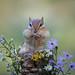 Eastern chipmunk by missymandel