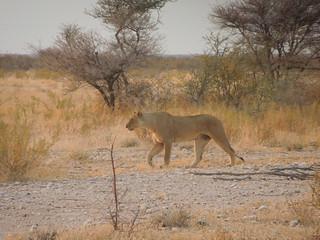 20170903 Etosha 051 Lion