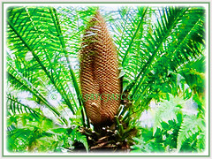 Captivating cone of Cycas clivicola (Cliff Cycad, Mountain Cycad, Limestone Cycad) atop its bright green foliage, 17 Sept 2017
