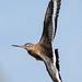 Black tailed Godwit Marshside RSPB D210bob DSC_6590a
