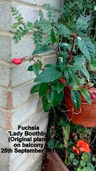 Fuchsia 'Lady Boothby' (Original plant) on balcony 25th September 2017
