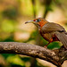 Rusty cheeked  babbler