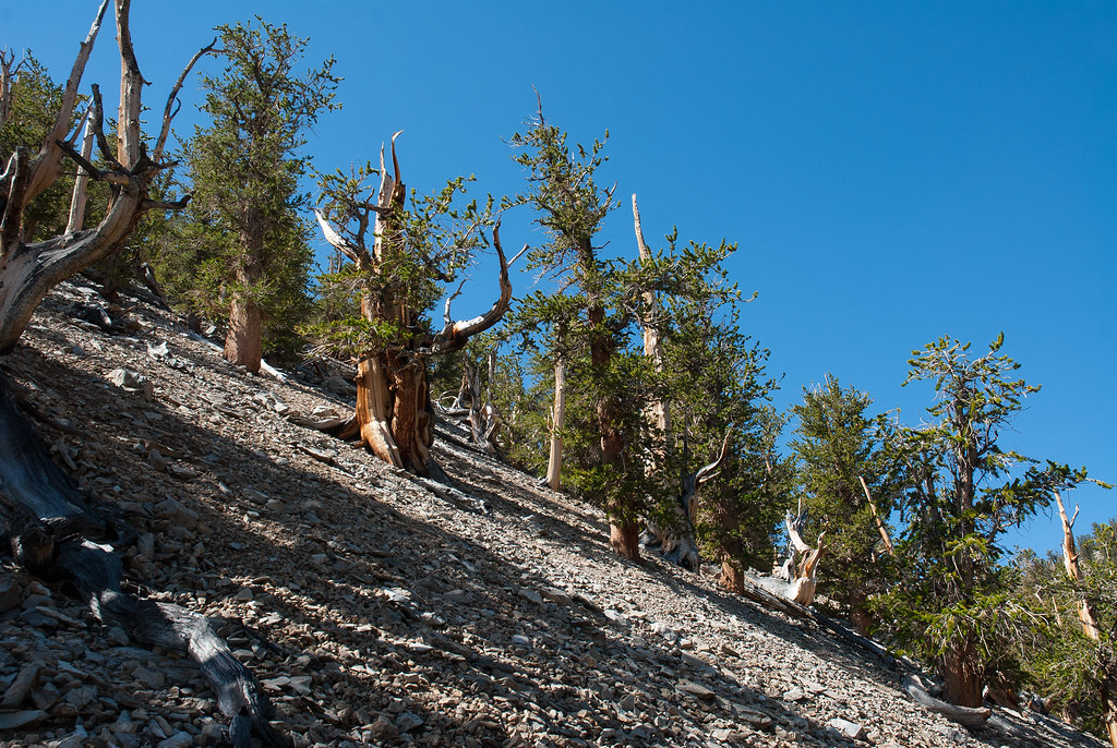 Ancient Bristlecone Forest (23 of 25)