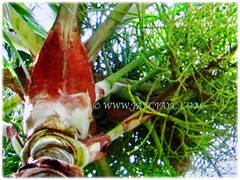 Fuzzy red crownshaft and white trunk of Dypsis leptocheilos (Redneck Palm, Teddy Bear Palm, Red Fuzzy Palm) in brilliant contrast with its feather-shaped fronds, 7 Sept 2017