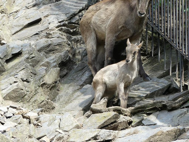 Kaukasischer Steinbock, Zoo Prag