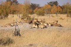 Late Cecil's Pride Hwange National Park Zimbabwe Africa