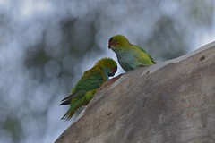 Purple - crowned Lorikeets ( still sleeping dear )