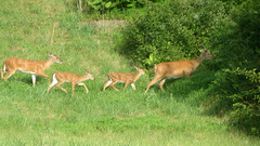 Line of Deer II