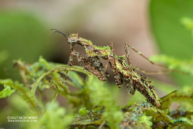 Moss mantis (Haania sp.) - DSC_8378