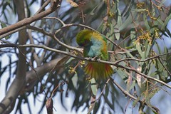 Purple - crowned Lorikeet (  enjoying the sunshine )