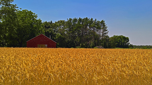 whatfield longisland newyork wheat field schack farm agriculture