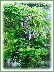 Averrhoa bilimbi (Bilimbi, Bilimbi Tree, Cucumber Tree, Tree Sorrel, Belimbing Asam/Buloh in Malay) can grow to 5-10 m tall with sparsely arranged upright branches, 19 Aug 2017