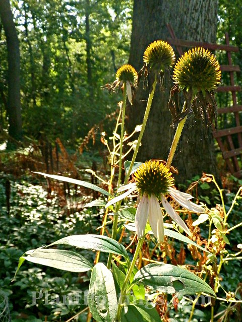 coneflower autumn 1