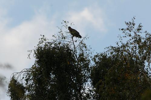 Buzzard high on tree, Wightwick