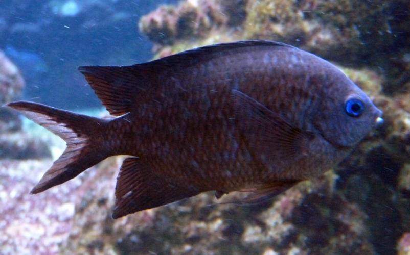 Acanthochromis polyacanthus 36707637515_02a5d7425a_o