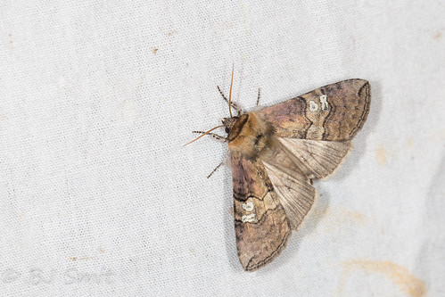 Figure of Eighty / Peppel-or vlinder (Tethea ocularis)