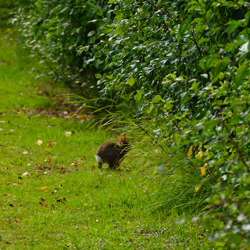 Rabbit running for shelter