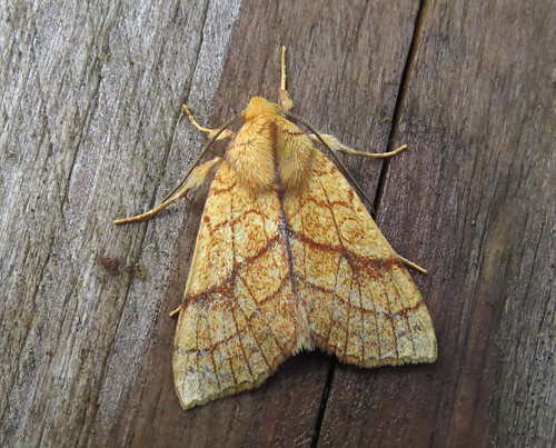 Orange Sallow Tiliacea citrago Tophill Low NR, East Yorkshire September 2017