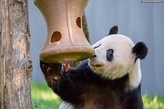 PandaReleasesCarrot