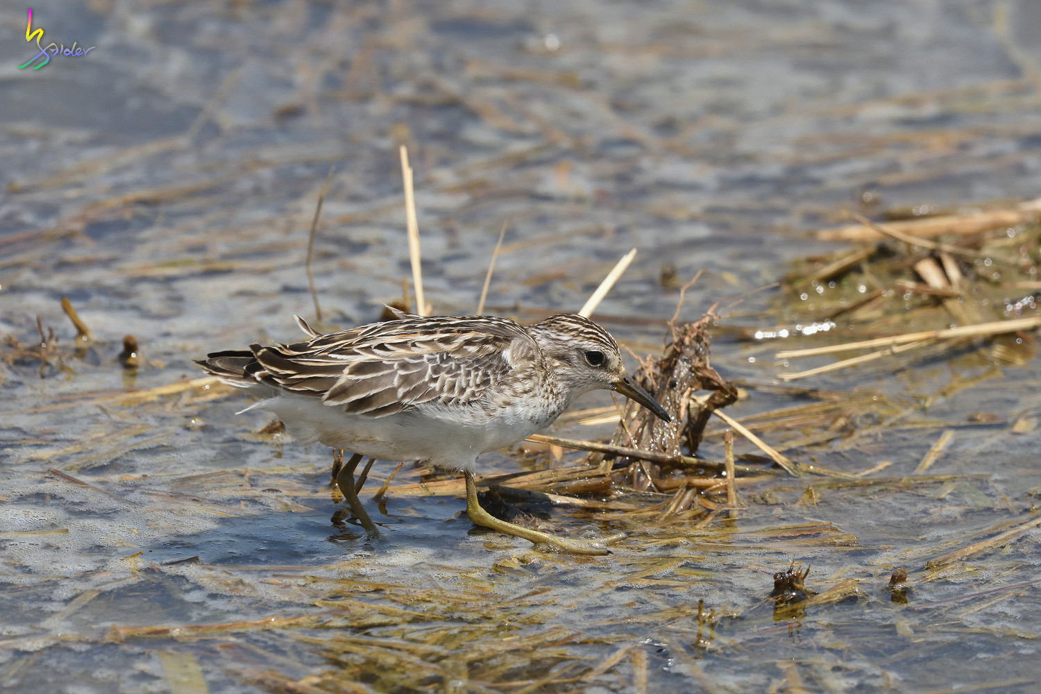 Long-toed_Stint_8031